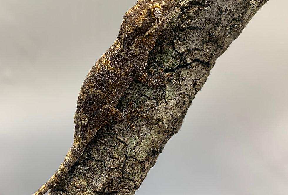 Gargoyale Gecko CB Baby