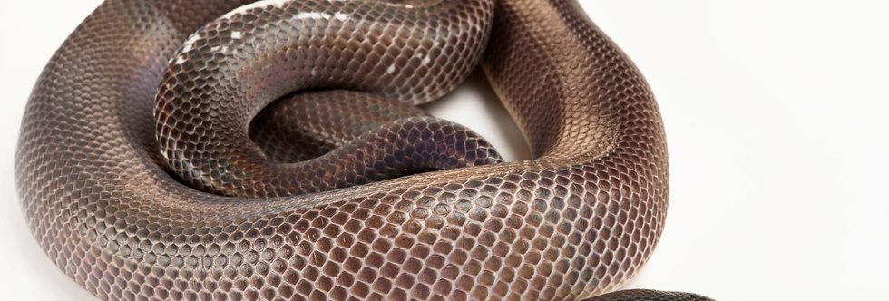 C.A burrowing python