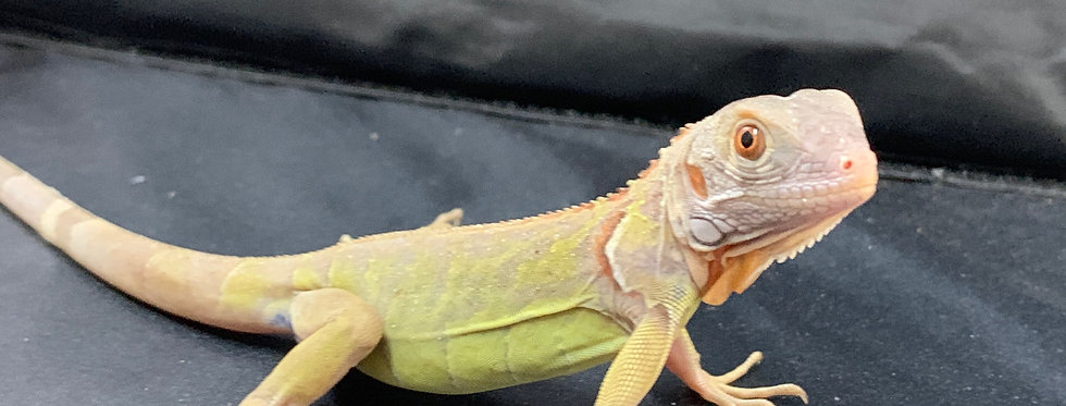 El Salv. translucent Iguana(big baby)