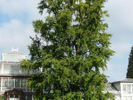 Researchers Crack Secrets of Ginkgo Trees' Near-Immortality