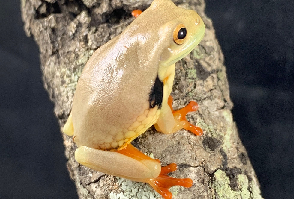 Golden eye milk frog cb