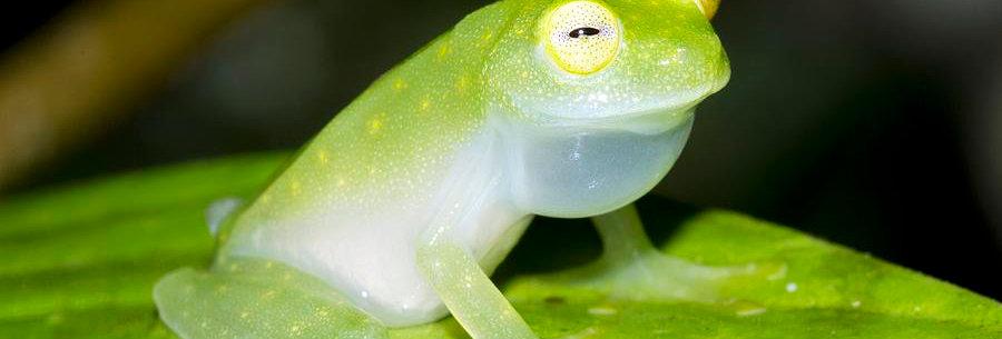 Fleischmanns Glass Frog