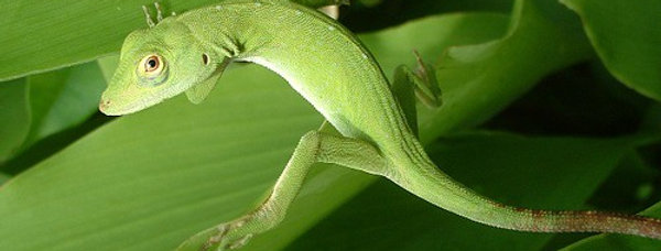 Giant Green Anole