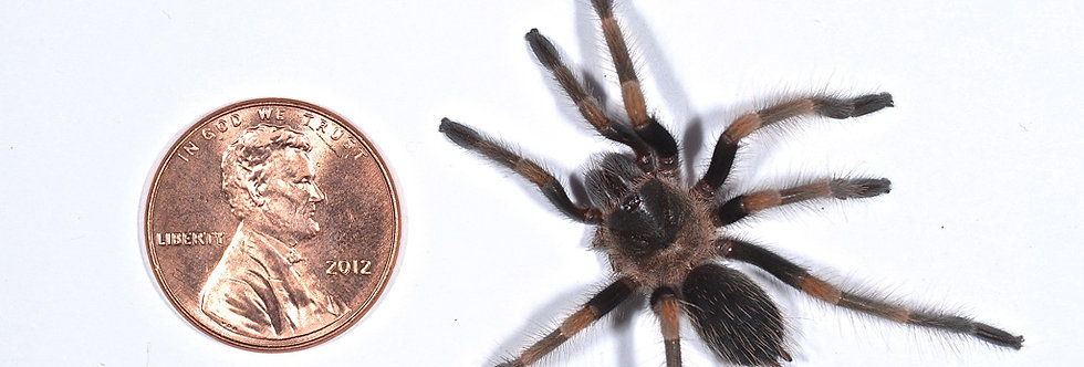 Mexican redknee (spiderling)