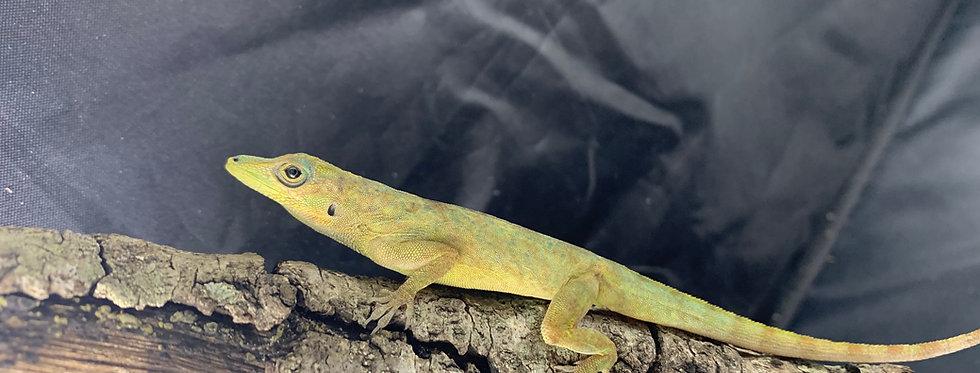 Guyana blue anole
