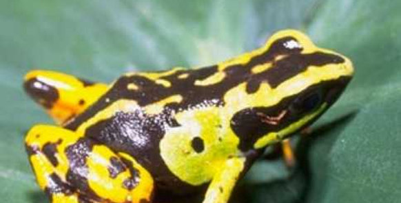Painted Mantella frog