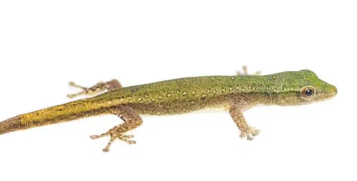 Conrau's dwarf gecko