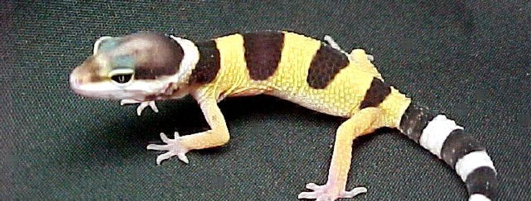Leopard Gecko Cb