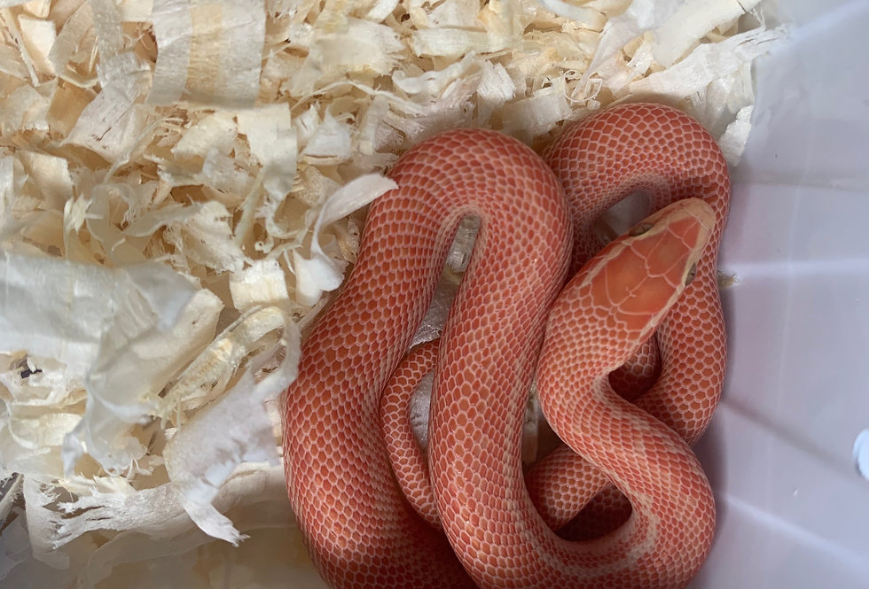 Albino House snake (Male only)