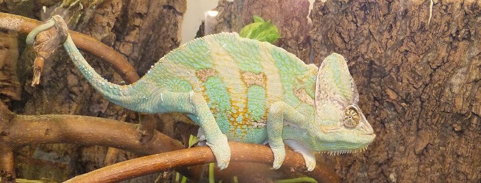 """Veiled chameleon (8"""""""