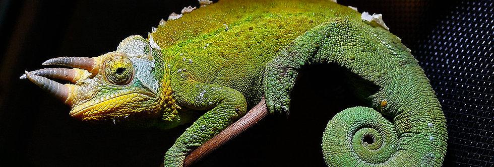 Rainbow Jackson's Chameleon - Trioceros jacksonii willegensis