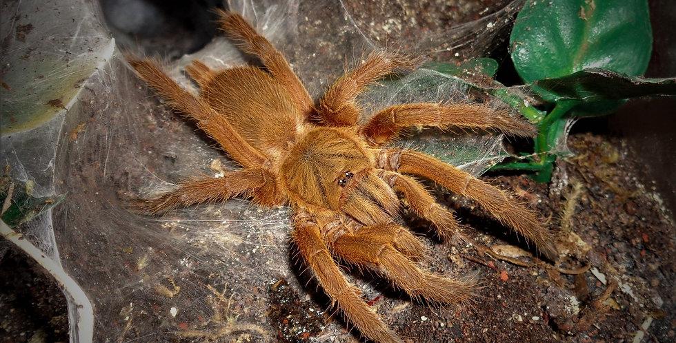 """Asian fawn tarantula 1"""""""