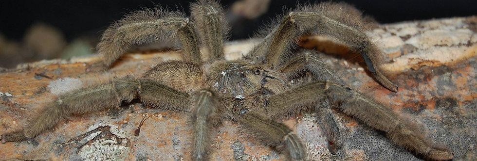 Borneo black tarantula 1.5''