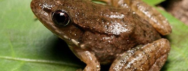 Bronze Frog