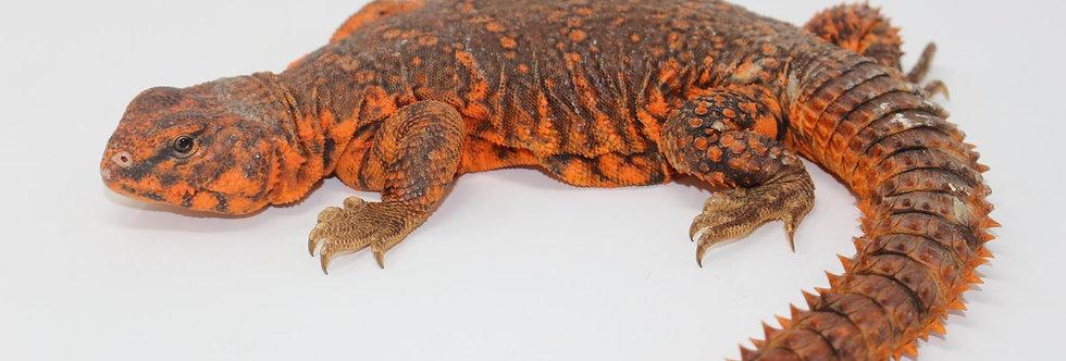 Nigerian uromastyx (Red)