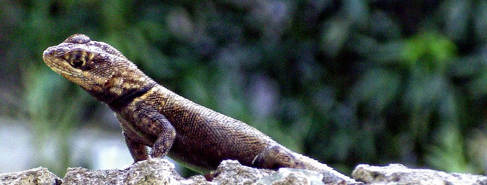 Guyana collared lizard