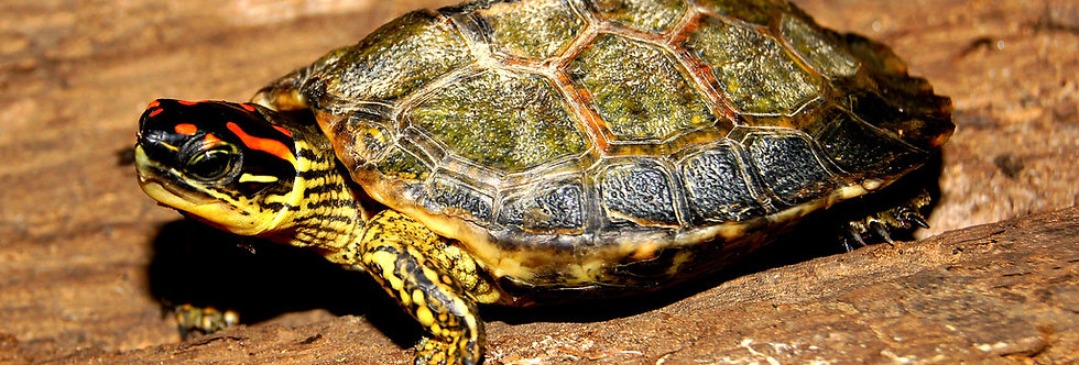 S.A. wood turtle