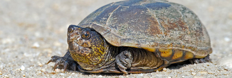 Eastern Mud Turtles