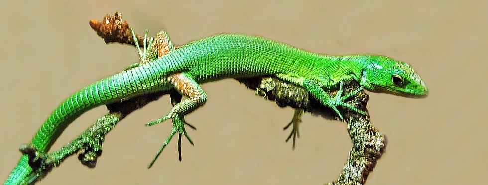 Green keel-bellied lizard