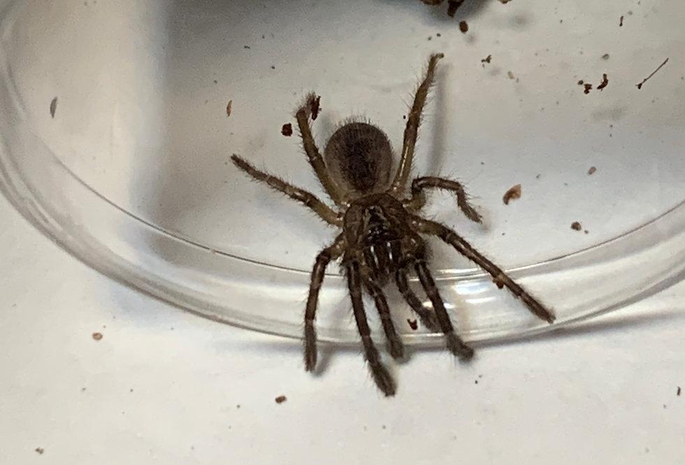 Piura tarantula