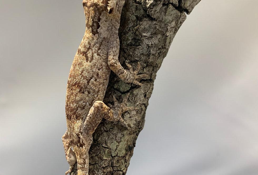 Gargoyale Gecko CB Juvenile