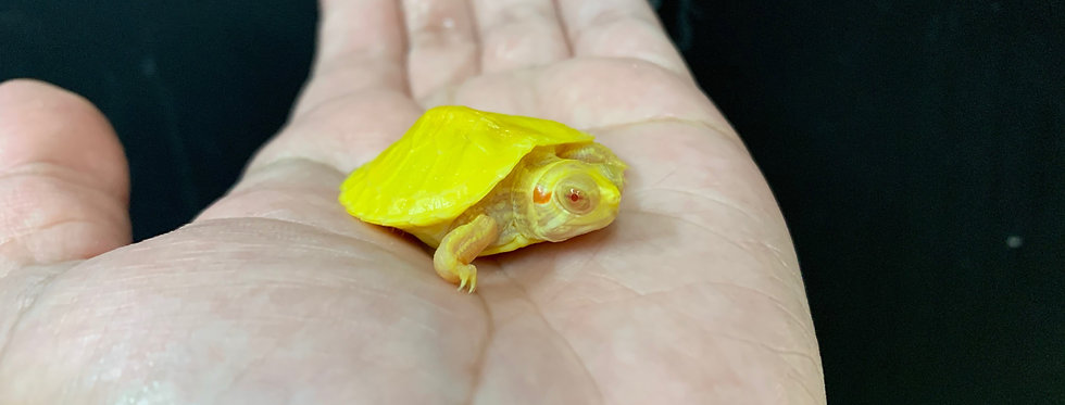Albino red ear slider