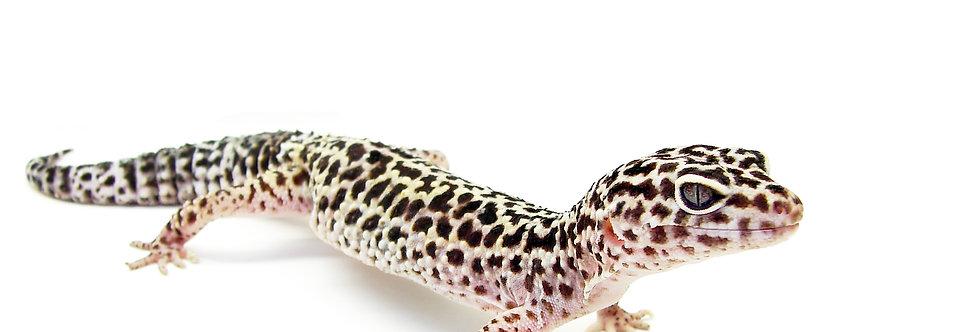 Leopard Gecko (Fancy) CB