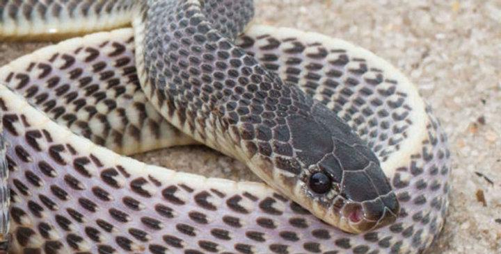 Africa file snake