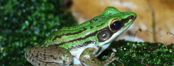 Asian Green Back Tree Frog