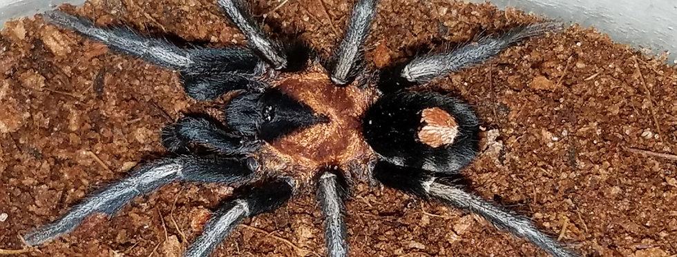 Trinidad dwarf tarantula