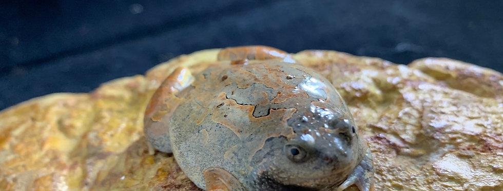 Orange burrowing frog