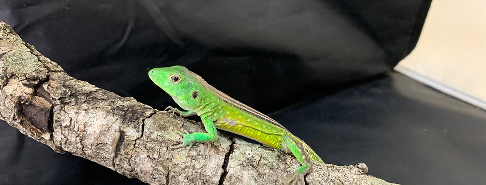 Rainbow green lizard
