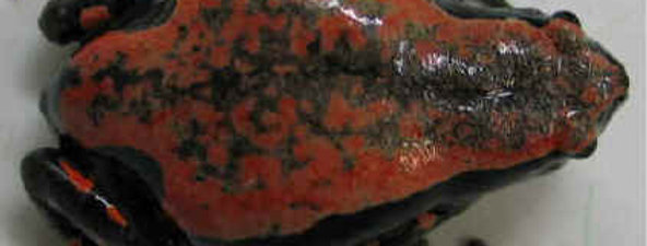 Red and Black Striped Walking Frog
