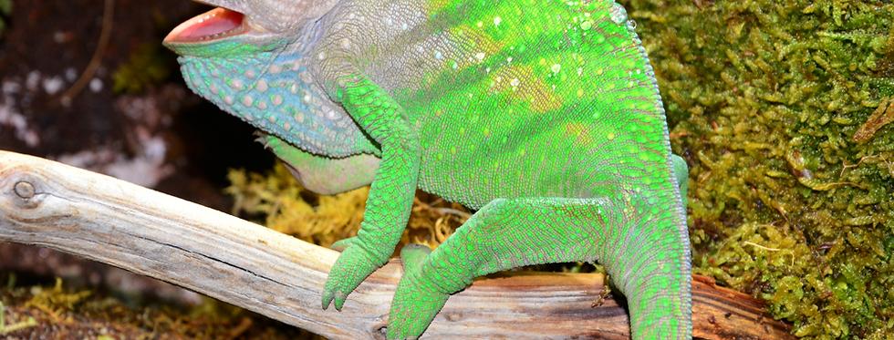 O'Shaughnessy chameleon