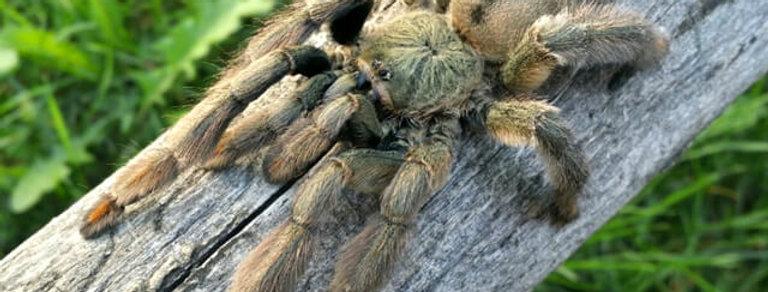 """Trinidad chevron tarantula 1"""""""