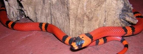 Eastern milk snake (CB baby)