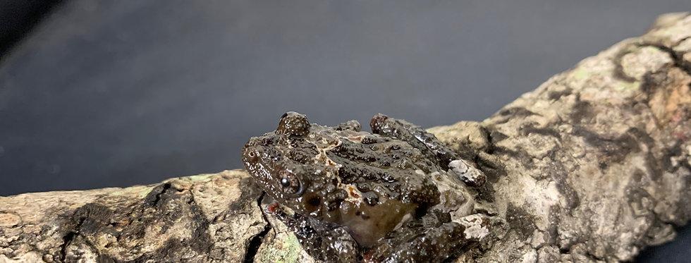 Tonkin bug eyed frog cb