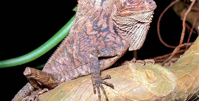 Forest chameleon