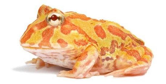 Pacman Frog (Albino)