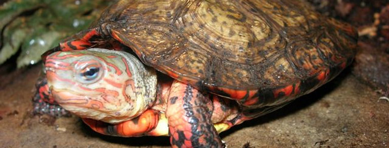 C.A. wood turtles (red feet)
