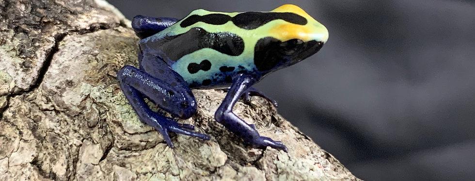 D. tinctorius (cobalt blue) cb