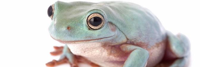 Blue white tree frog CB