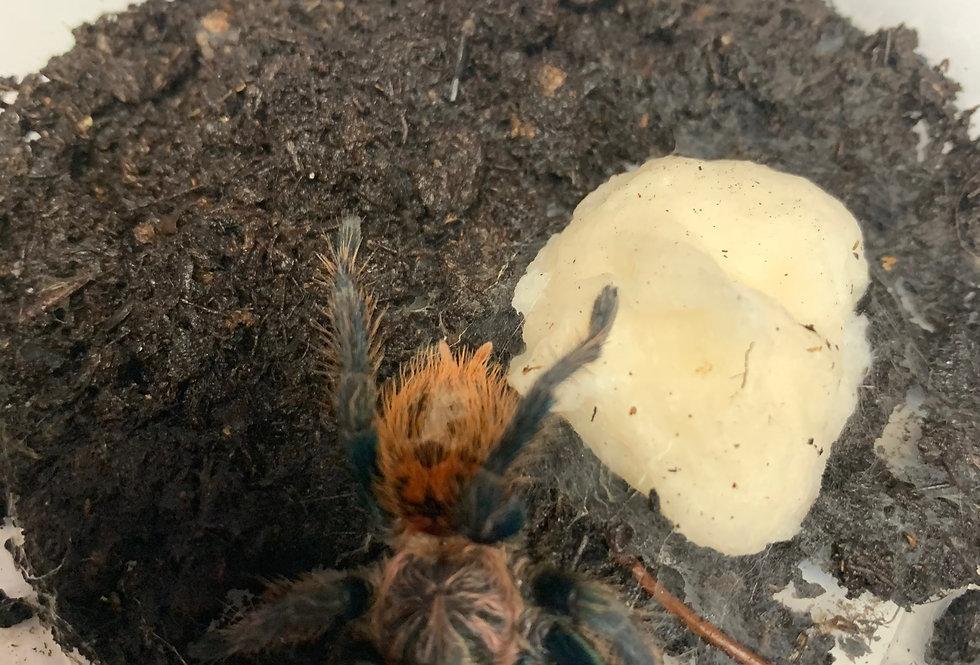 Greenbottle blue tarantula