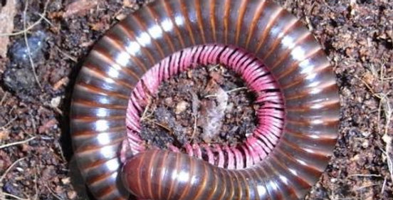 Pink footed millipede
