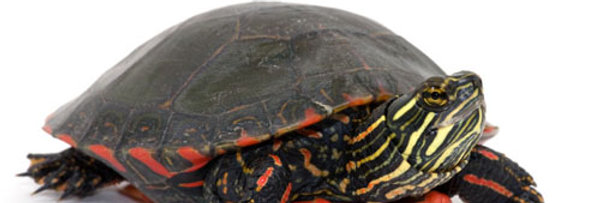 Western painted turtle 2-3""