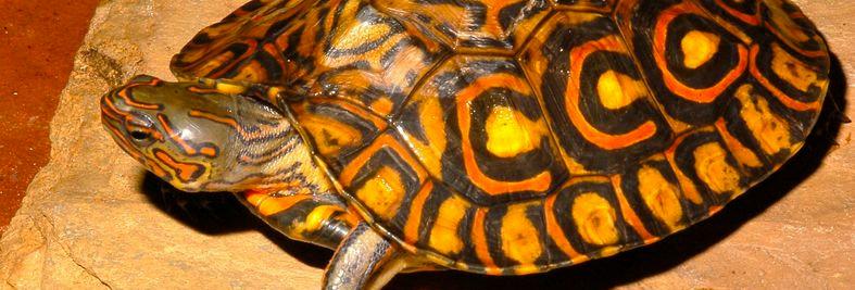 """C.A. ornate wood turtle 4""""-6"""""""