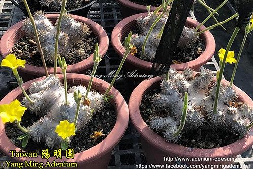 Pachypodium Brevicaule hybrid
