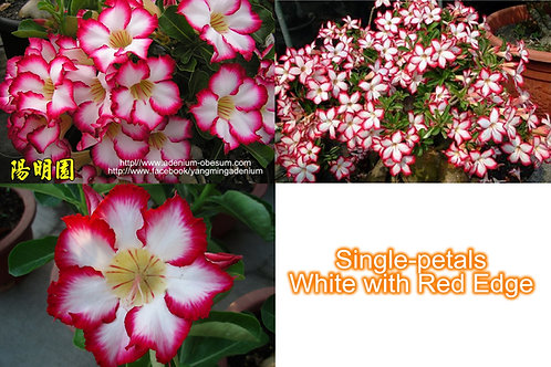 Single-petals White w/ Red Edge mixed (100 seeds)