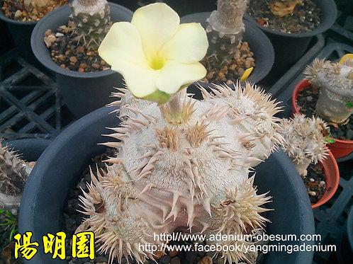 Pachypodium Brevicaule - Cream Flower