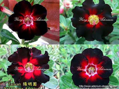 Single-petals Black mixed